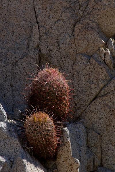 Barrel cactus.  Anza Borrego Desert State Park, California.