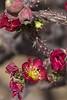 Cholla in bloom<br /> Pima County, Arizona