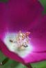 Purple Poppy Mallow (Newton, KS).