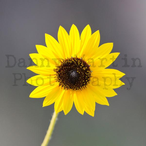 Sunflower<br /> Yoakum County, Texas.
