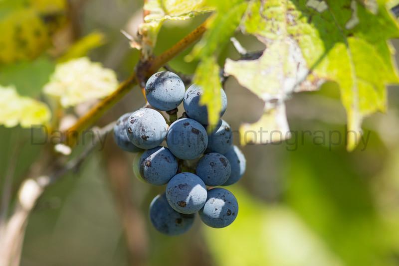 wild grape<br /> Barber County, Kansas