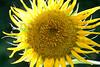 Sunflower cultivar in Harvey County, Kansas
