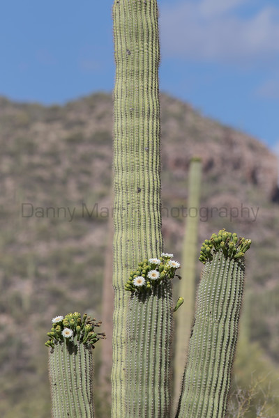 Saguaro in bloom<br /> Pima County, Arizona