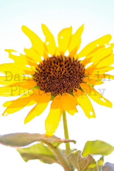 Sunflower<br /> Comanche National Grassland, Otero County, Colorado.