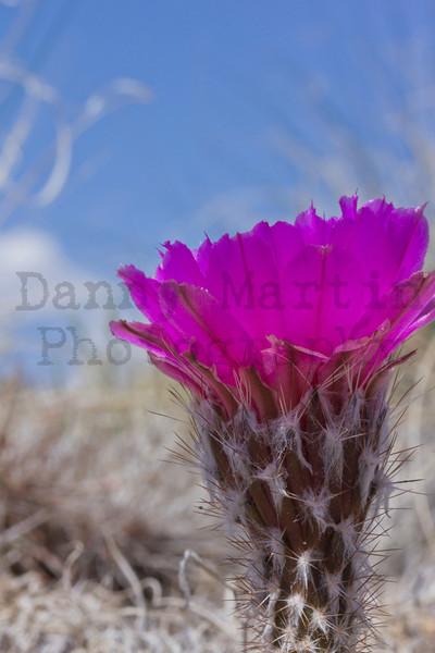 Cactus bloom, late May. Comanche National Grassland, Otero County, Colorado.