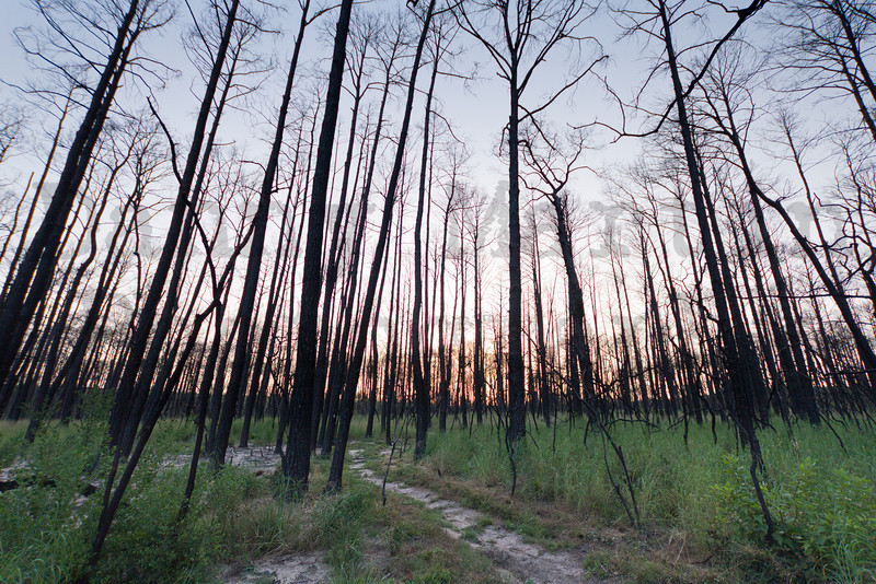 Bastrop State Park, Texas.  One year after the big wildfire of 2011 that burned 95% of the park.