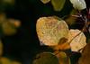 dew on Aspen leaf.