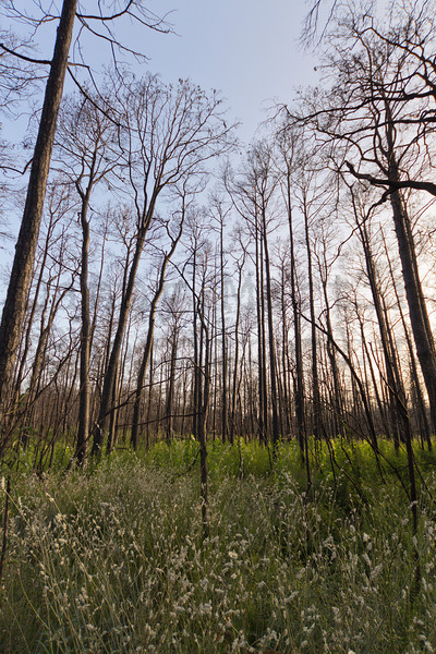 Bastrop State Park, Texas.  Burned trees one year after the big wildfire of 2011 that burned 95% of the park.