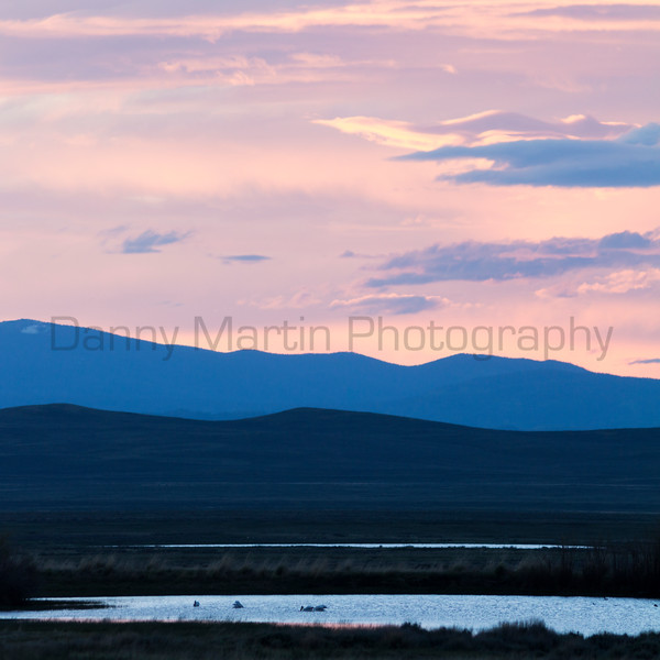 American White Pelicans foraging at sunset<br /> North Park, Jackson County, Colorado.