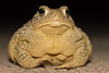 Woodhouse's Toad<br /> Rocky Ford State Wildlife Area, Otero County, Colorado
