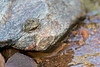 Woodhouse's Toad<br /> BLM near Canon City, Fremont County, Colorado.