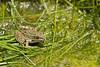 Plains Leopard Frog<br /> Pratt County, Kansas.