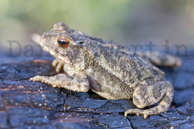 Gulf Coast Toad.  <br /> Bastrop State Park, Texas (one year after the 2011 wildfire).<br /> *Placed on nearby burned log to demonstrate habitat affected by wildfire.