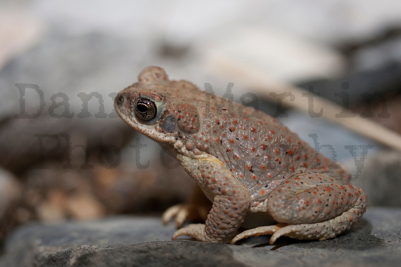 Red-spotted Toad<br /> Brewster County, Texas.