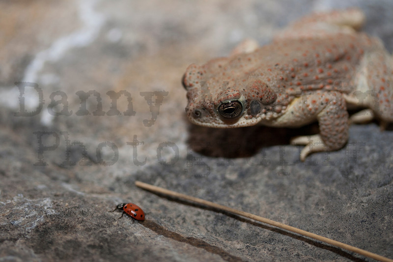 Red-spotted Toad & ladybug<br /> Brewster County, Texas.