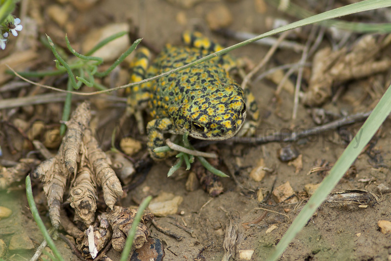 Chihuahuan Green Toad<br /> Otero County, Colorado