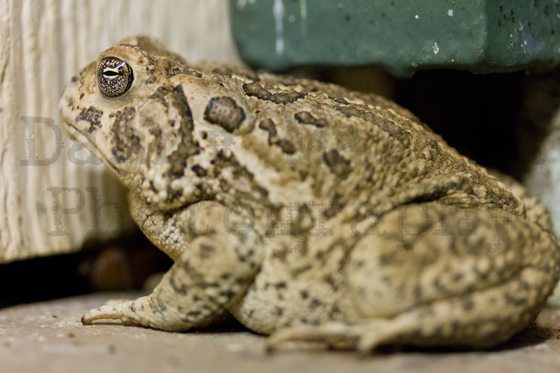 Woodhouse's Toad<br /> Matador Wildlife Management Area, Cottle County, Texas.