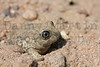 Plains Spadefoot<br /> Pratt County, Kansas.