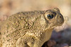Woodhouse's Toad (with congenital eye defect)<br /> Lake Pueblo State Park, Colorado.
