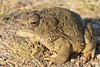 Woodhouse's Toad<br /> Lake Pueblo State Park, Colorado.