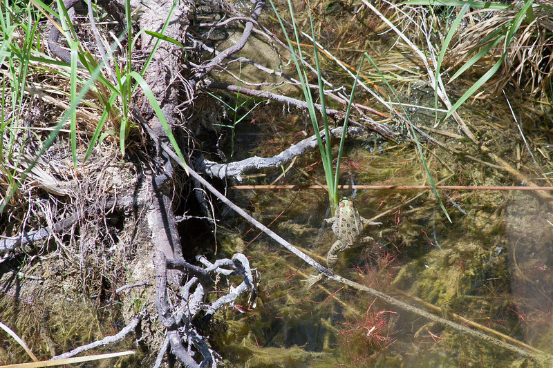Rio Grande Leopard Frog<br /> Big Bend National Park, Brewster County, Texas.