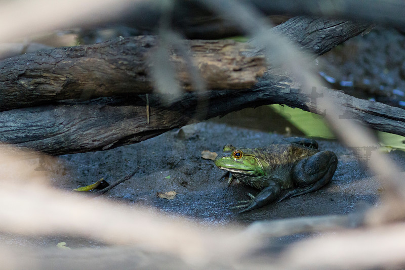 American Bullfrog<br /> Harvey County, Kansas.
