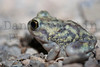 Mexican Spadefoot<br /> Brewster County, Texas.