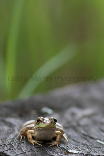 Green Frog<br /> Jefferson Parish, Louisiana