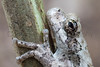 Bird-voiced Treefrog<br /> Jefferson Parish, Louisiana