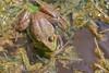 American Bullfrog<br /> Larimer County, Colorado.