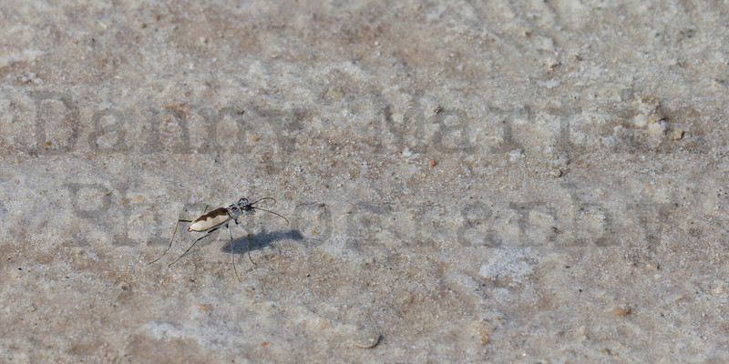White-cloaked Tiger Beetle<br /> Bailey County, Texas