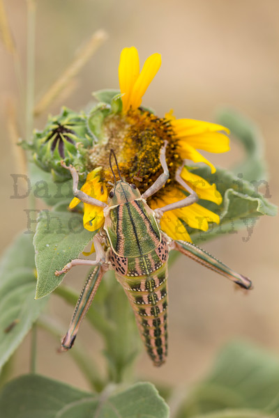 Plains Lubber on sunflower<br /> Otero County, Colorado.