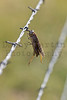 Grasshopper impaled on barbed wire by Loggerhead Shrike<br /> Comanche National Grassland, Colorado.