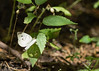 Cabbage White<br /> Douglas County, Kansas