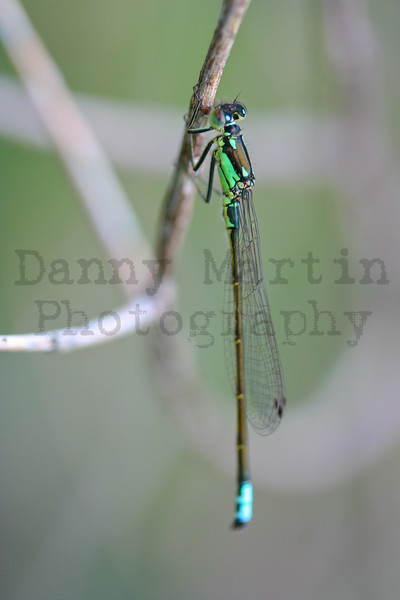damselfly. Pine Ridge Natural Area, CO.