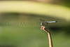 Blue Dasher (male)<br /> Williamson County, Texas