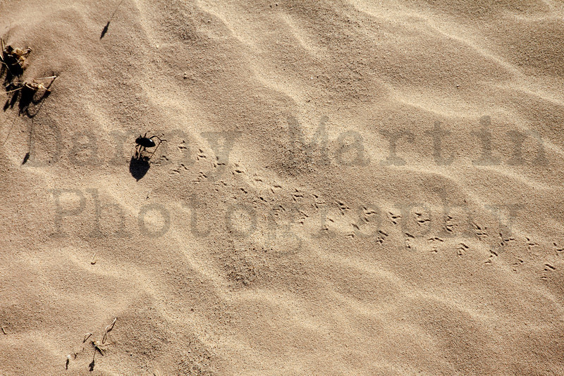 Beetle making tracks on sand dune.  BLM East Mesa, Imperial County, California.