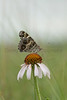 American Painted Lady on Echinacea<br /> Butler County, Kansas