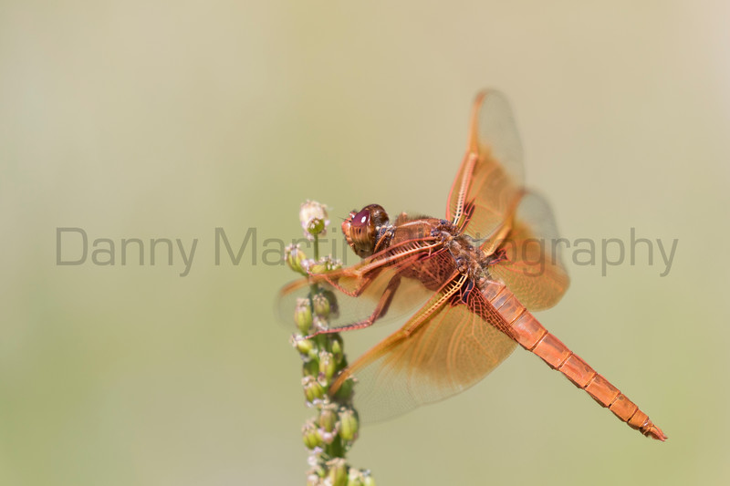 Flame Skimmer<br /> Park County, Wyoming