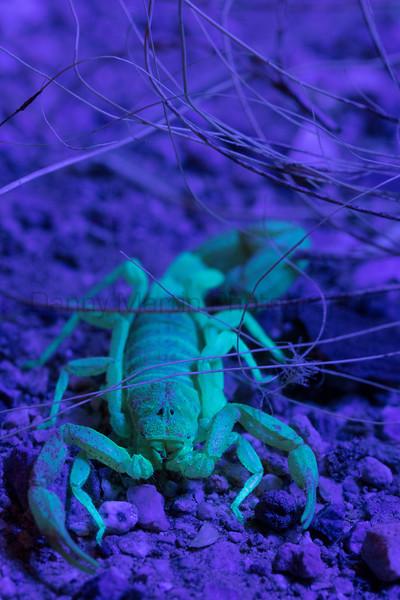Arizona Bark Scorpion under UV light<br /> Arizona