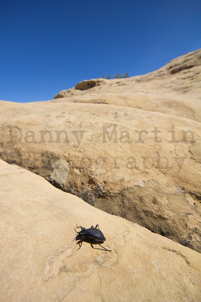 Beetle making an afternoon trek.  El Malpais National Monument, New Mexico.