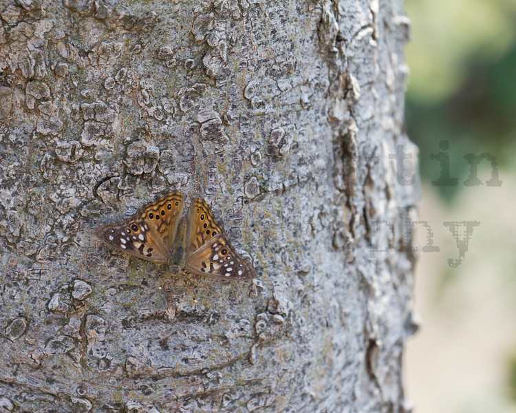 Hackberry Emperor<br /> Bailey County, Texas.