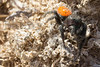 Jumping Spider<br /> Pawnee National Grassland, Weld County, Colorado.