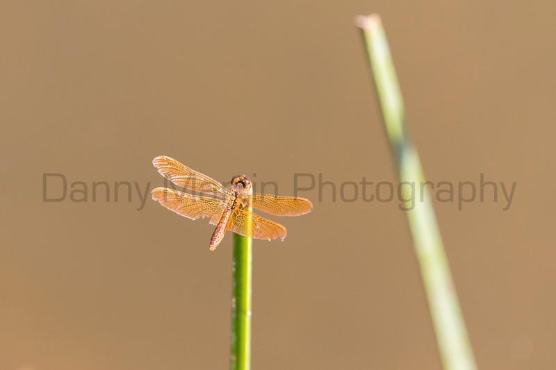 Mexican Amberwing<br /> Pima County, Arizona