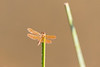 Mexican Amberwing<br /> Pima County, Arizona