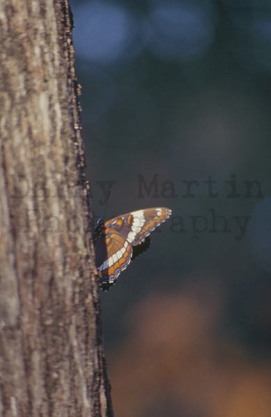 Northern White Admiral<br /> Boundary Waters Canoe Area Wilderness, Minnesota.  [slide scan]