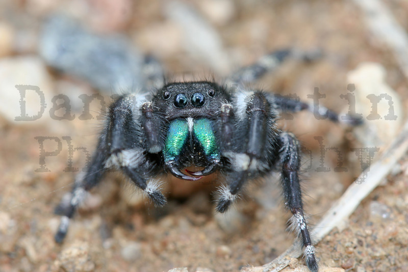 Jumping spider.  Fort Collins, CO.