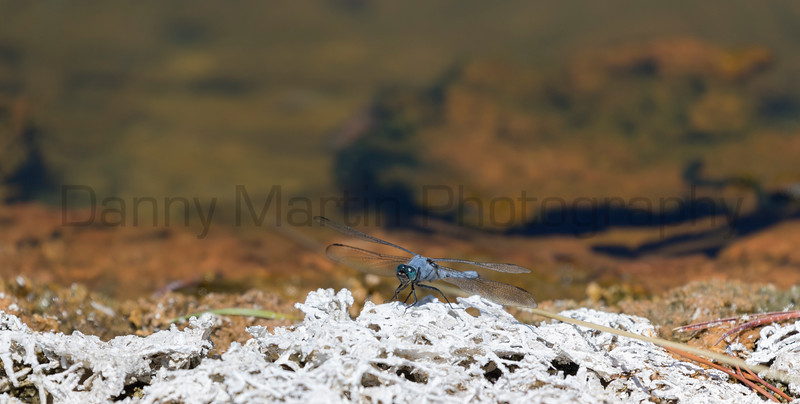 Western Pondhawk (male)<br /> Park County, Wyoming