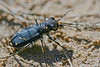 Tiger beetle.  Pawnee National Grassland, CO.