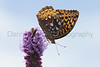 Great Spangled Fritillary on Thickspike Gayfeather<br /> Douglas County, Kansas